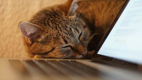 Cat sleeping on the table near laptop. close up. Cat sleeps near the laptop stock images
