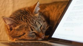 Cat sleeping on the table near laptop. close up. Cat sleeps near the laptop royalty free stock photo