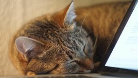 Cat sleeping on the table near laptop. close up. Cat sleeps near the laptop stock image