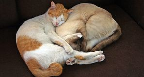 Cat, Sleeping, Together, Company Royalty Free Stock Image