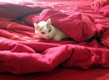 Cat sleeping under red blankets Stock Photos