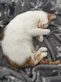 Cat sleeping on winter blanket royalty free stock photos