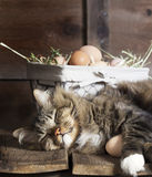 Cat Sleeping on Wood Shelf with Eggs. A brown tabby cat sleeping on old wood shelf with arm around brown chicken eggs with wire Basket of eggs in background royalty free stock photography