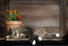 Cat Sleeping on Wood Shelf. A mixed breed long haired brown tabby stretched out asleep on rustic wood shelf with clay pot of marigolds behind his head stock images