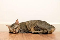 Cat sleeping on wooden floor with white blank space wall. adorable cat rest close eyes at Home stock images