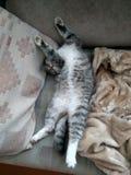 Cat Sleeps Imagen de archivo libre de regalías