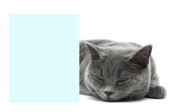 Cat sleeps behind a banner on a white background Stock Images