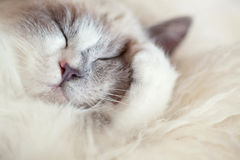 Cat sleeps closing paw Stock Photography