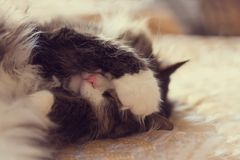 The cat sleeps on the couch. Closing his eyes with the paw royalty free stock photo