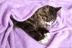 Cat sleeps covered soft blanket Stock Photography