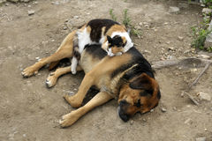 Cat sleeps on a dog outdoors.  royalty free stock images