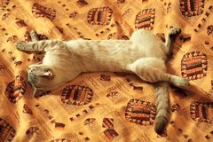 Cat sleeps without hind legs. Royalty Free Stock Photos