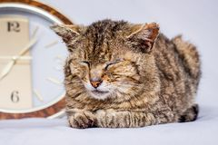 Cat sleeps near clock. Clock shows that it`s time to wake up. A stock photo