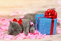 Cat sleeps next to gift. A cat sleeps on the rose petals near a gift with a red ribbon with big bow royalty free stock photography