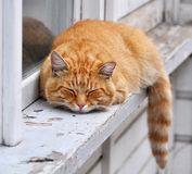 Cat sleeps Royalty Free Stock Photo