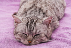 Cat sleeps. Royalty Free Stock Images