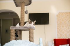 Cat sleeps on the tower for cats royalty free stock photography
