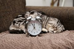 Lazy cat does not want to get up early on Monday morning. Cat sleeps with a vintage alarm clock. A lazy cat does not want to get up early on Monday morning stock photography