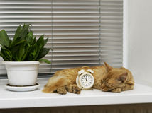 Cat sleeps on the windowsill next to the alarm Stock Image