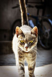 Cat slinks. Cat sneaks up on us Stock Photography