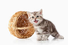 Cat. Small chocolate british kitten on white background Royalty Free Stock Photography
