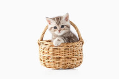 Cat. Small chocolate british kitten on white background Royalty Free Stock Photos