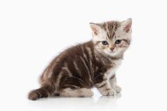 Cat. Small chocolate british kitten on white background Stock Photography