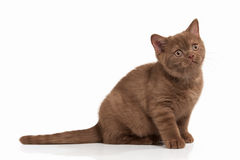 Cat. Small cinnamon british kitten on white background Stock Images