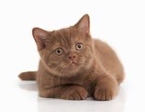 Cat. Small cinnamon british kitten on white background Royalty Free Stock Photography