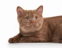 Cat. Small cinnamon british kitten on white background Stock Photo