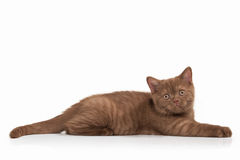 Cat. Small cinnamon british kitten on white background Royalty Free Stock Images
