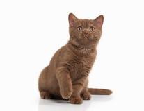 Cat. Small cinnamon british kitten on white background Royalty Free Stock Image