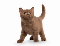 Cat. Small cinnamon british kitten on white background Stock Image