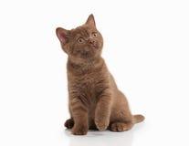 Cat. Small cinnamon british kitten on white background Stock Photos