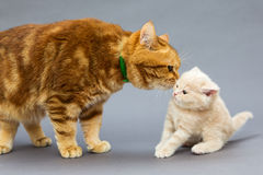 Cat and a small kitten Stock Image