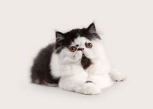 Cat. Small persian kitten on white background Royalty Free Stock Images