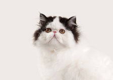 Cat. Small persian kitten on white background Stock Photos