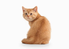 Cat. Small red british kitten on white background Stock Photography