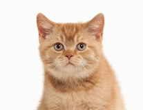 Cat. Small red british kitten on white background Royalty Free Stock Images