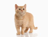 Cat. Small red british kitten on white background Stock Image