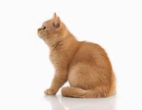 Cat. Small red british kitten on white background. Small red british kitten on white background Stock Photo