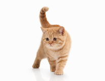 Cat. Small red british kitten on white background Stock Photos