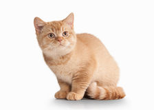 Cat. Small red british kitten on white background Royalty Free Stock Photography
