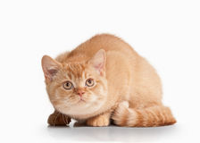Cat. Small red british kitten on white background Royalty Free Stock Photo