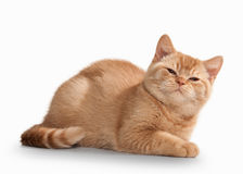 Cat. Small red british kitten on white background. Small red british kitten on white background Stock Photography
