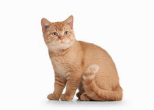 Cat. Small red british kitten on white background Royalty Free Stock Photos