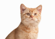 Cat. Small red british kitten on white background Stock Images