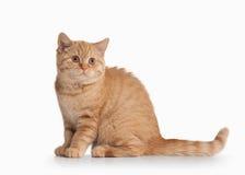 Cat. Small red british kitten on white background. Small red british kitten on white background Royalty Free Stock Photo