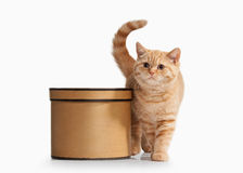 Cat. Small red british kitten on white background Stock Photo