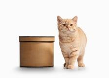 Cat. Small red british kitten on white background. Small red british kitten on white background Royalty Free Stock Image